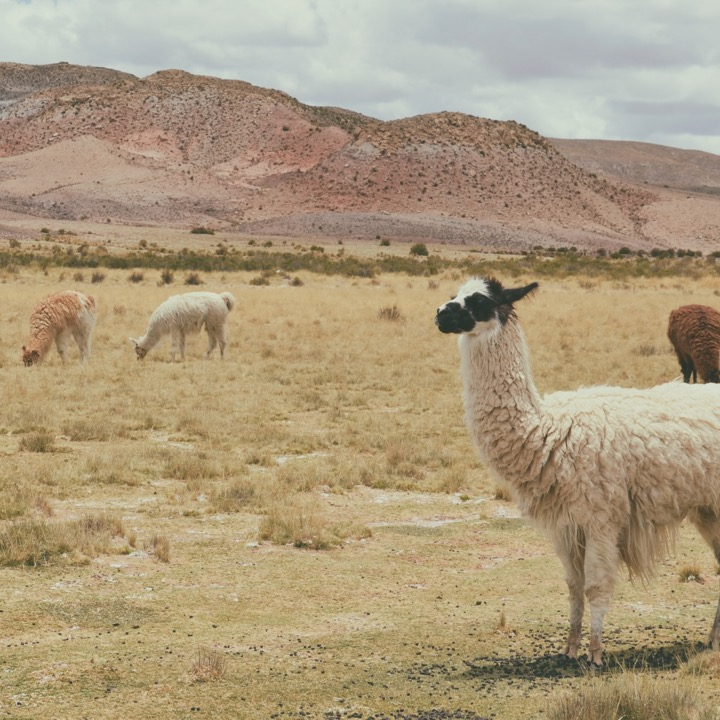 camelid